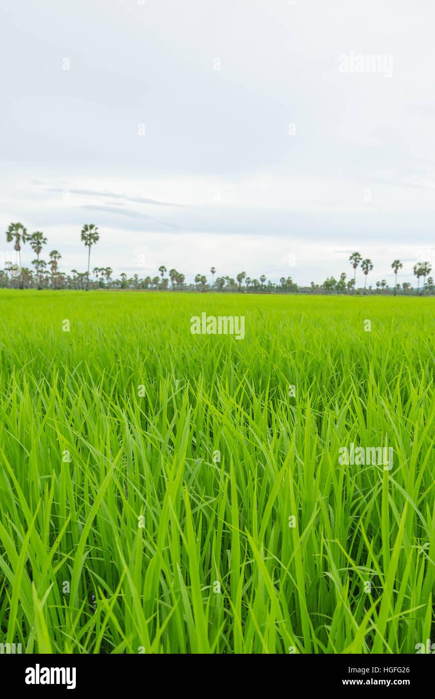 Centrar el campo de arroz y Palmira en la temporada de lluvias en Phetchaburi provinnce,Tailandia. Imagen De Stock