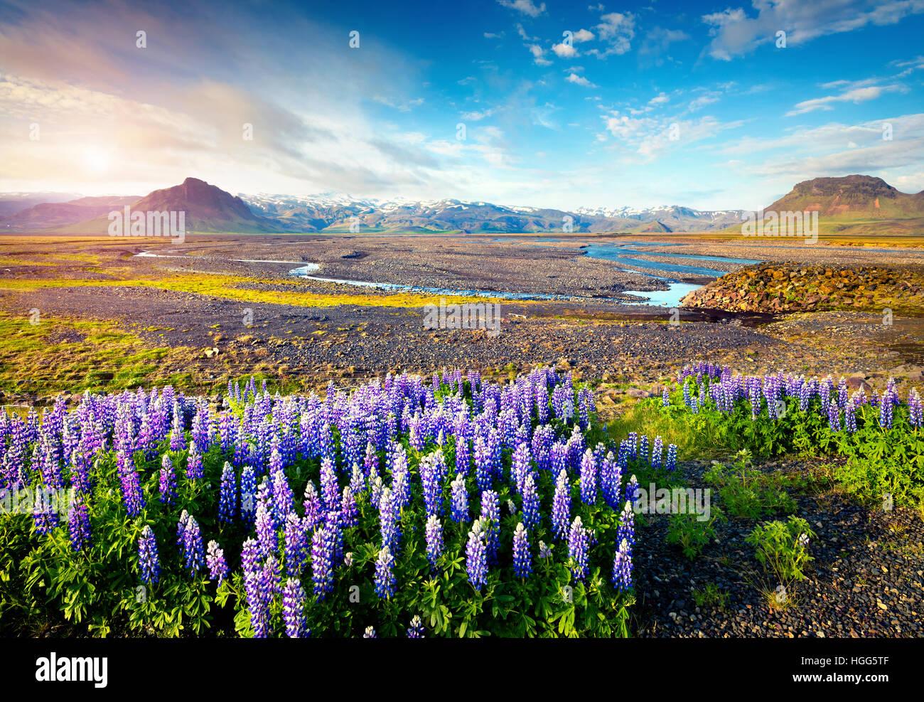 Típico paisaje islandés con campo de blooming lupino flores en junio.soleada mañana de verano en Imagen De Stock