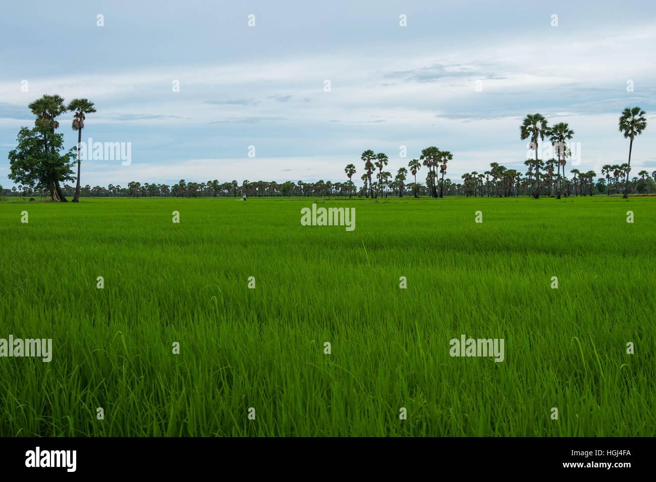 Campo de arroz y Palmira en la temporada de lluvias en Phetchaburi provinnce,Tailandia Imagen De Stock