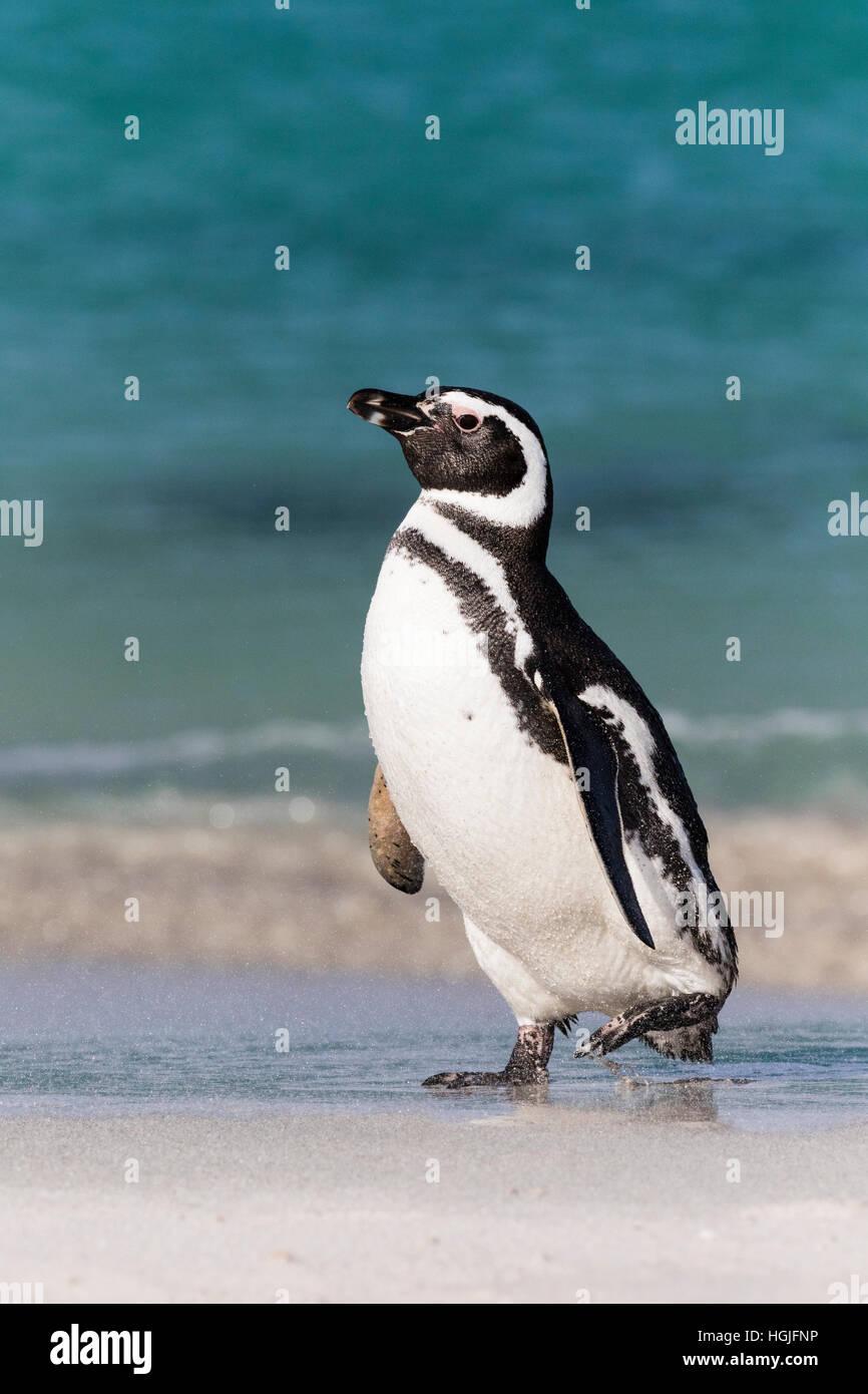 Pingüino de Magallanes en la isla más sombrío en las Malvinas Foto de stock