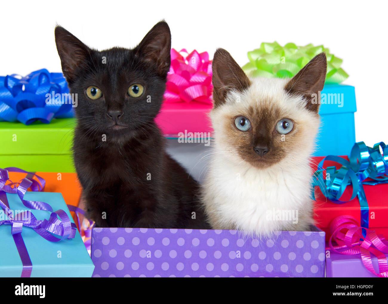 Gatito Negro Con Ojos Amarillos Junto Al Gato Siames Con Ojos Azules