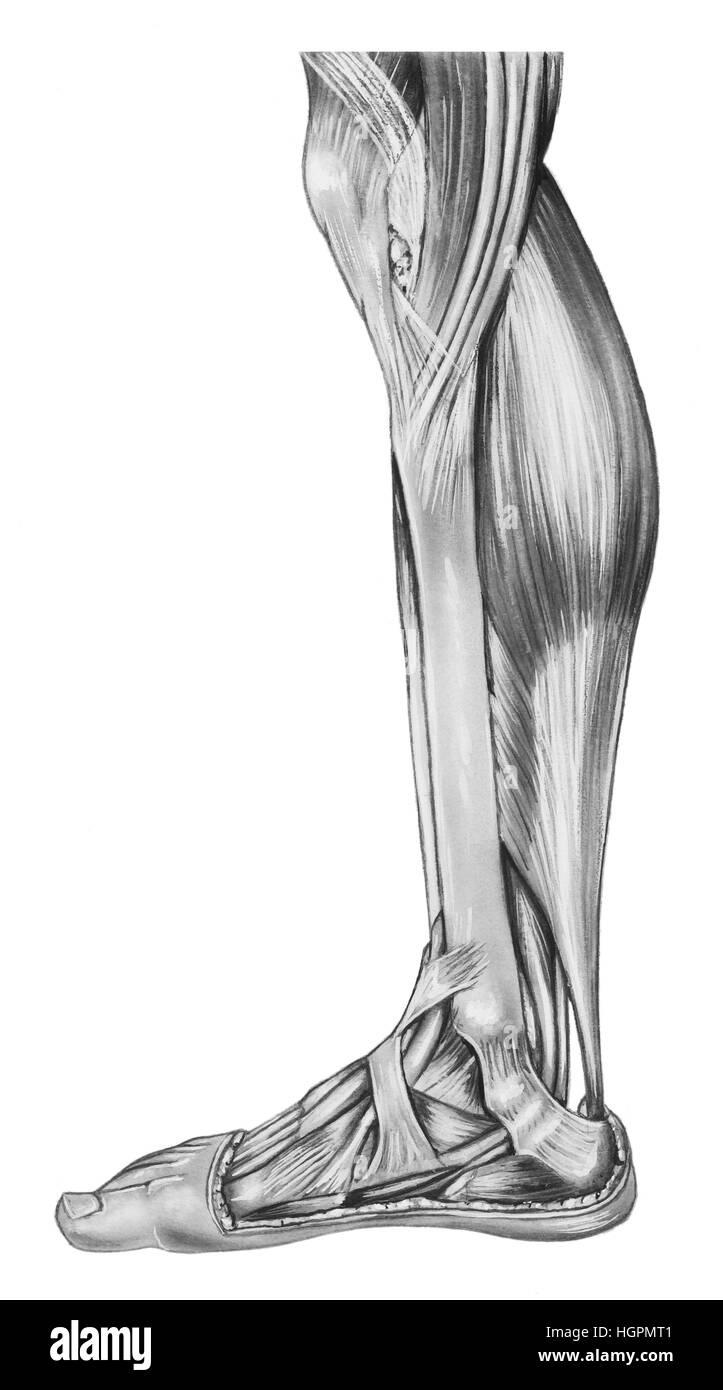 Los músculos y los tendones de la parte inferior de la pierna ...