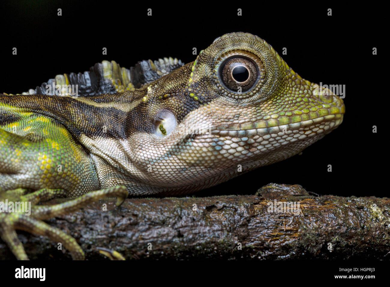 Gran Lagarto Anglehead (Gonocephalus grandis) Foto de stock