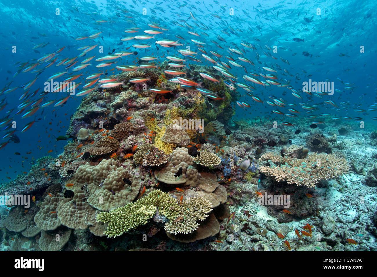 Bandas oscuras fusilier (Pterocaesio tile) nada más bloques de coral, LHAVIYANI ATOLL, Maldivas Imagen De Stock