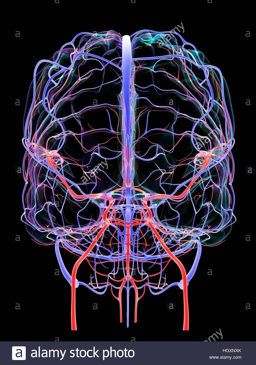Sistema vascular cerebral y el suministro de sangre. Ilustración que ...