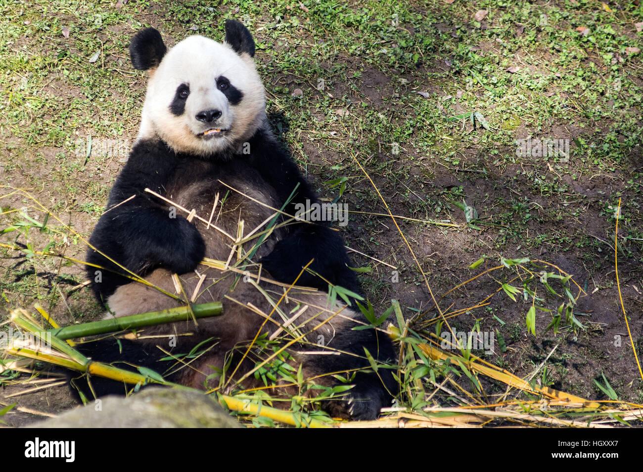 Oso Panda Comiendo bambú en Zoo Aquarium de Madrid Imagen De Stock
