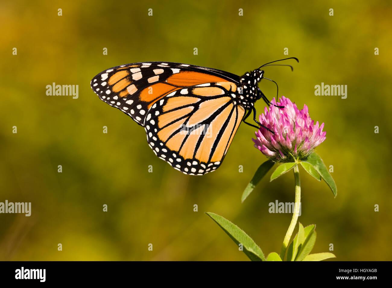 Una mariposa monarca, Danaus plexippus, en trébol en Grafton, Massachusetts. Imagen De Stock