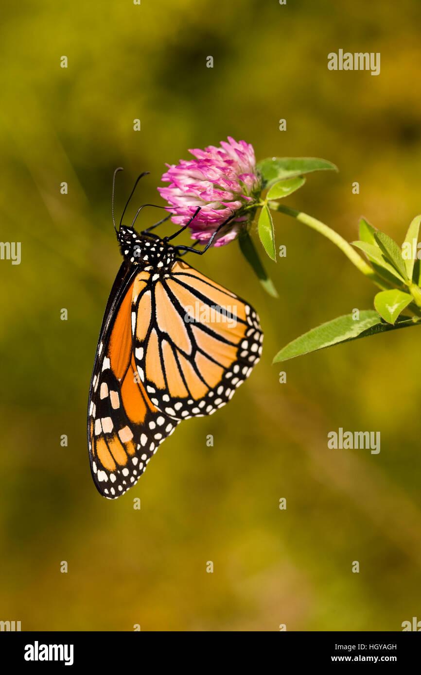 Una mariposa monarca, Danaus plexippus, en trébol en Grafton, Massachusetts. Foto de stock