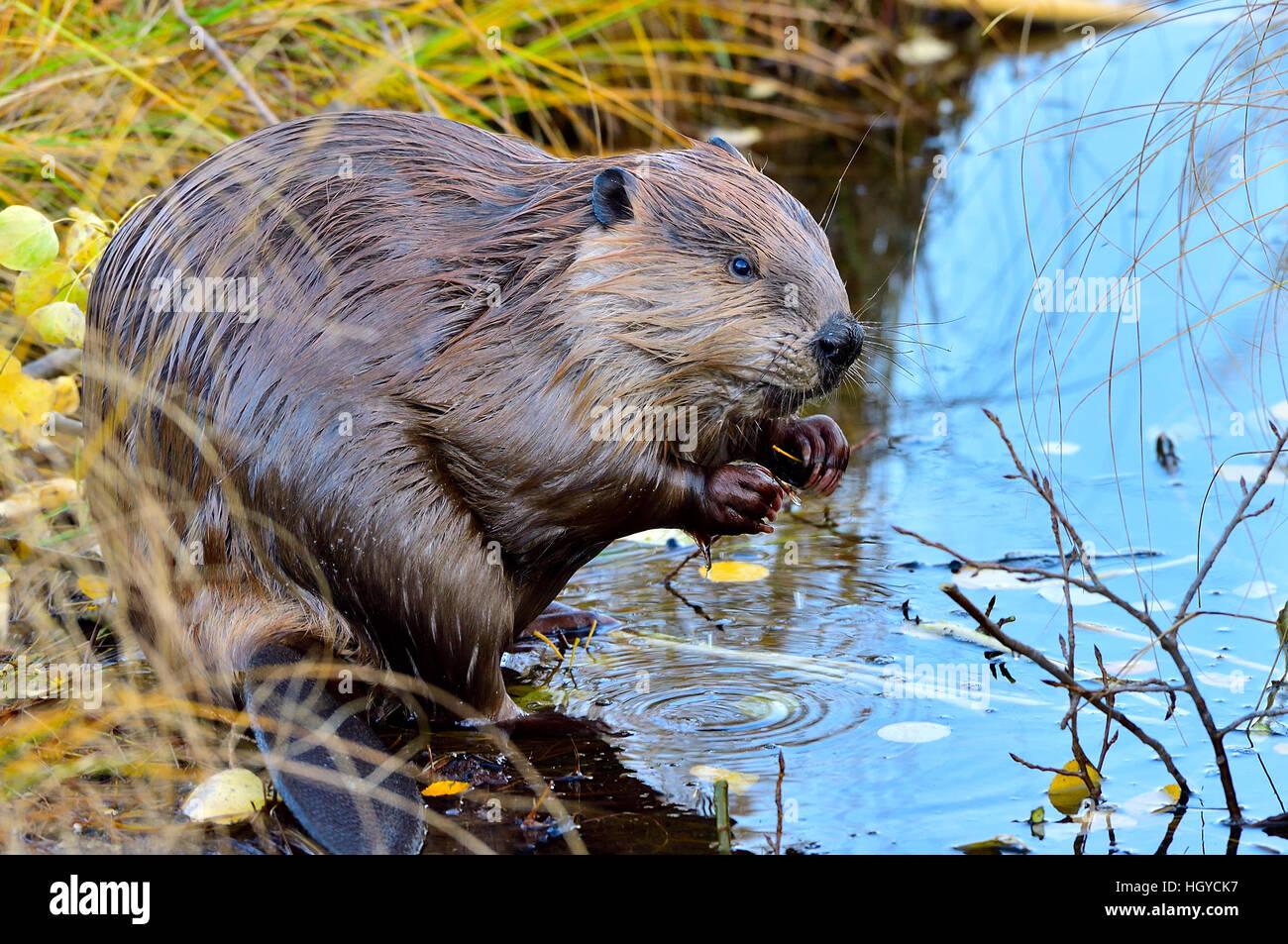 """Un """"castor Castor canadenis'; sentarse en la orilla de un estanque Imagen De Stock"""