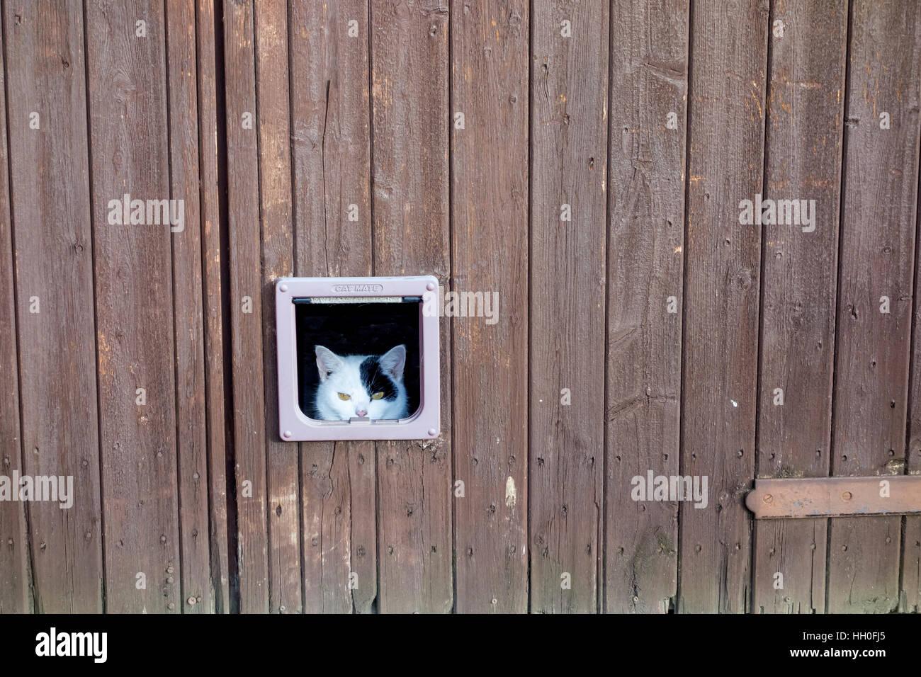 Cat through cat door im genes de stock cat through cat - Puertas de madera en blanco ...