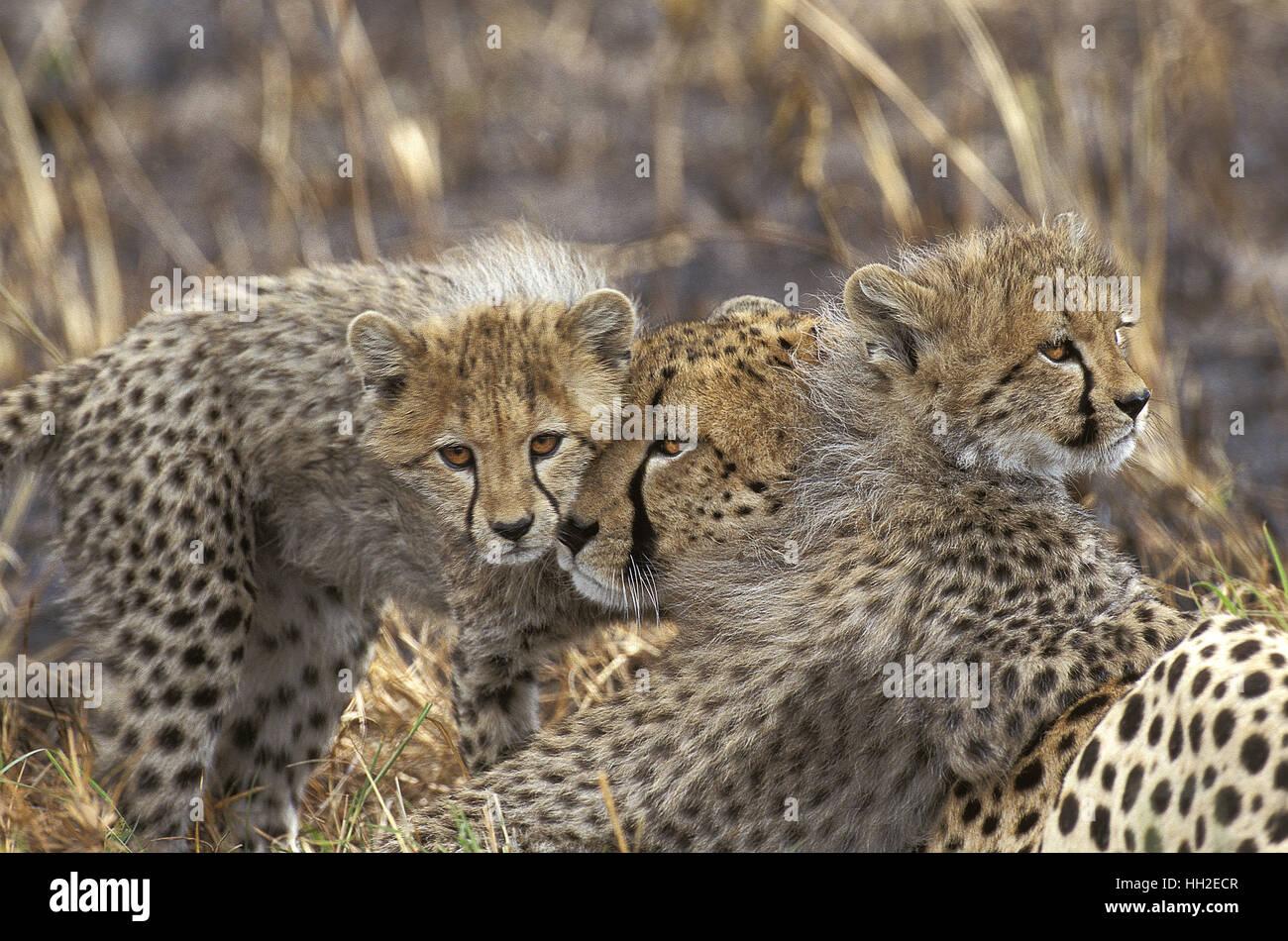 Guepardo Acinonyx jubatus, Madre y Cub, Parque de Masai Mara en Kenya Foto de stock