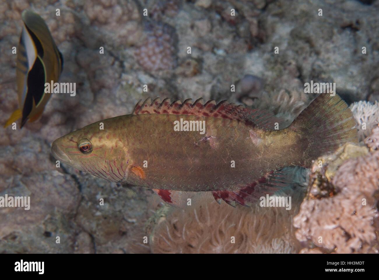 Napoleón, Oxycheilinus mentalis mental, Labridae, Sharm el-Sheikh, en el Mar Rojo, Egipto Imagen De Stock