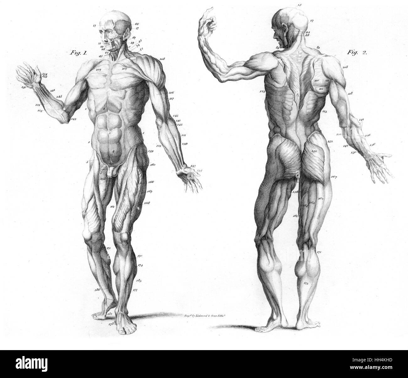 El sistema muscular del cuerpo humano - desde la parte delantera y ...