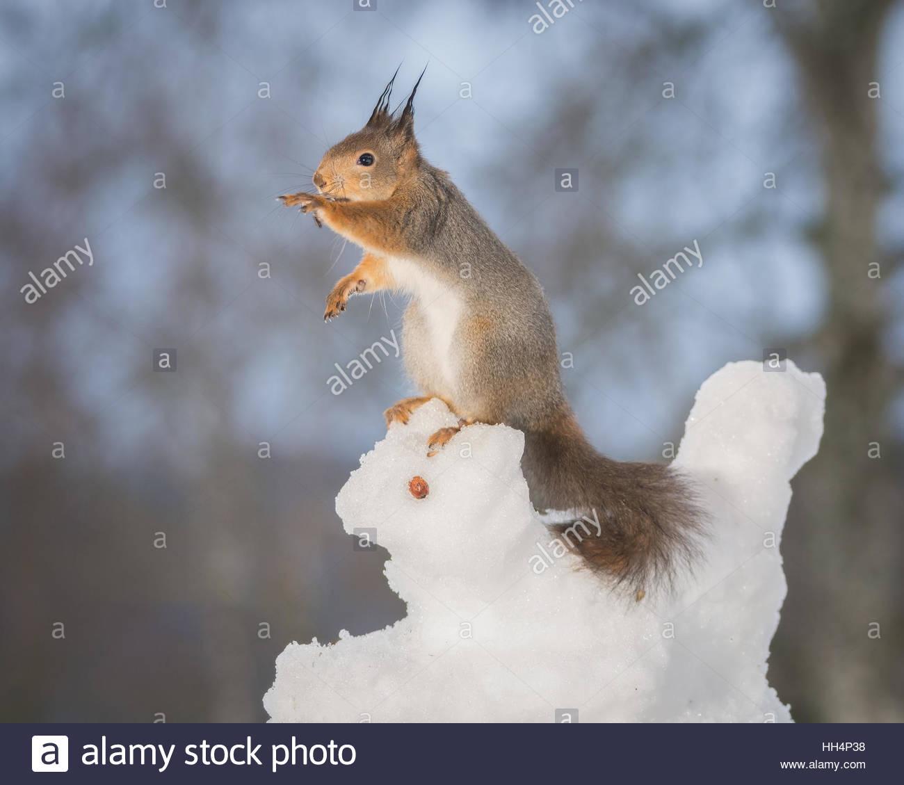 Ardilla roja sobre un animal de nieve Imagen De Stock