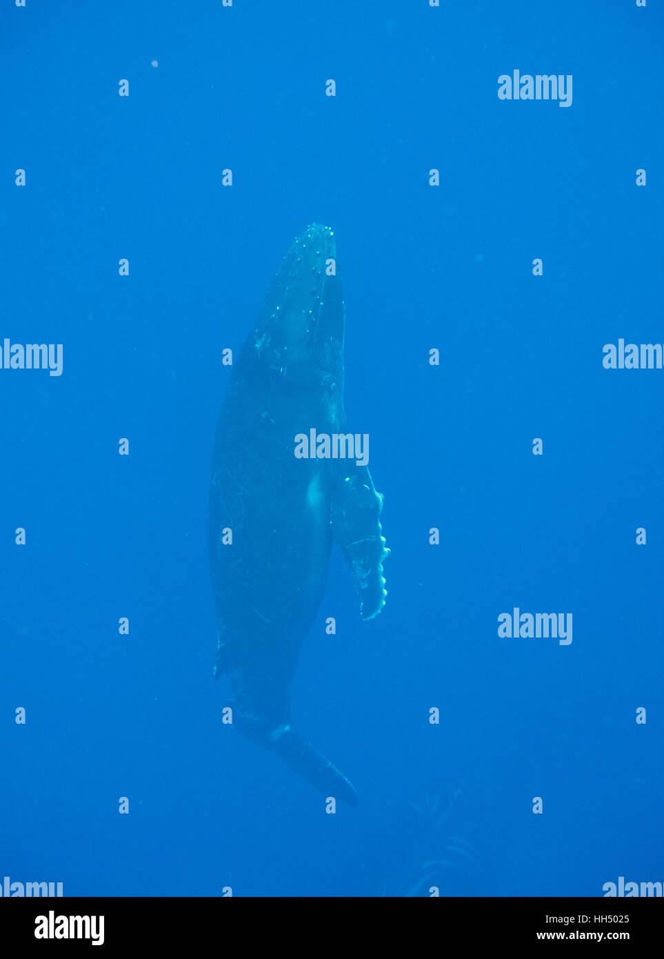 La ballena jorobada (Megaptera novaeangliae). Las islas de Tonga. Polinesia Foto de stock
