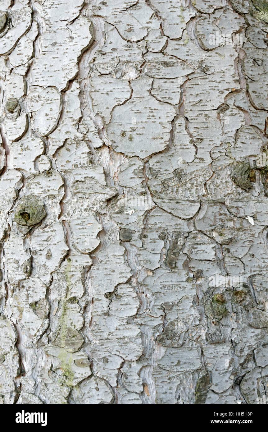 Close-up de la corteza escamosa de la madurez de abeto, Vancouver, British Columbia, Canadá Imagen De Stock