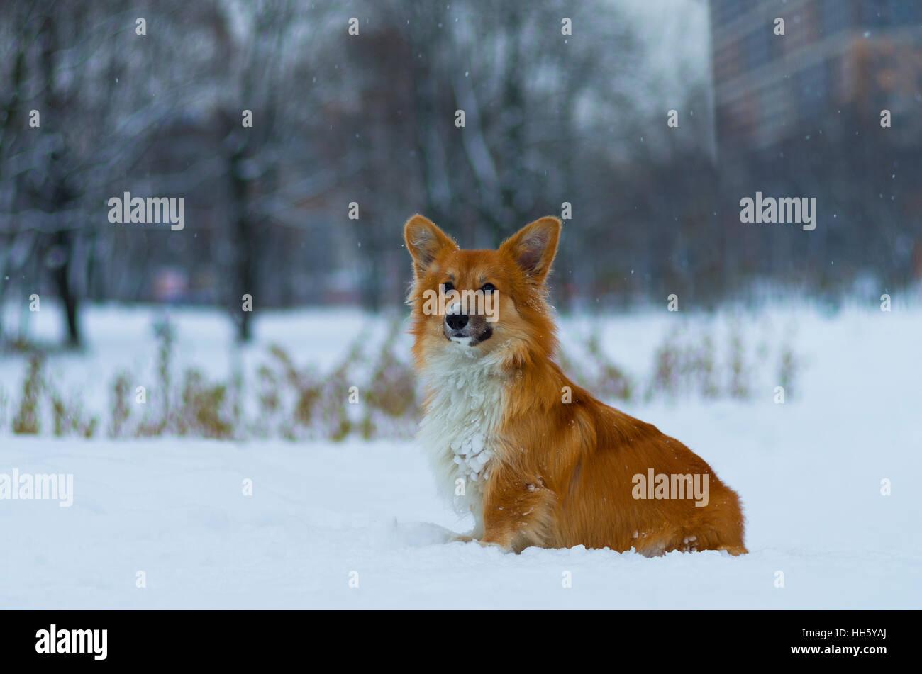 Foto de un perro (raza Welsh Corgi pembroke esponjosos, de color rojo) en el parque, día de invierno, Rusia Foto de stock