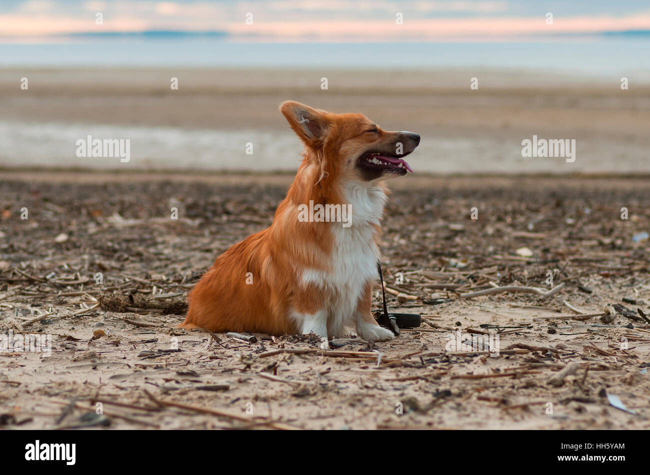 Foto de un perro con el plomo (raza Welsh Corgi pembroke esponjosos, de color rojo) sentados en la arena de una playa en la puesta de sol Foto de stock