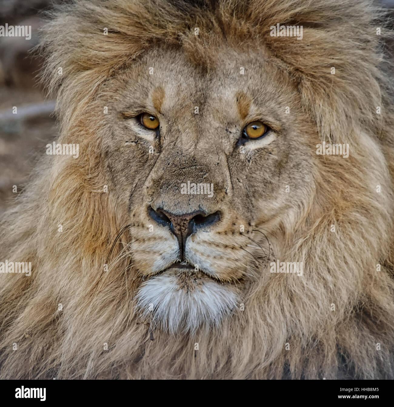 León macho en la sabana del África Meridional Foto de stock