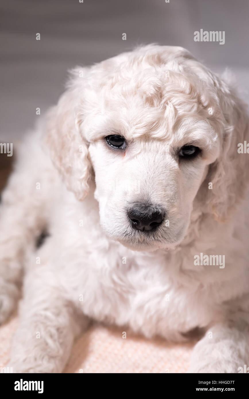 Caniche cachorro mirando a la cámara en el frontal plano, lindo perro con pelo rizado a seis semanas de edad, Imagen De Stock