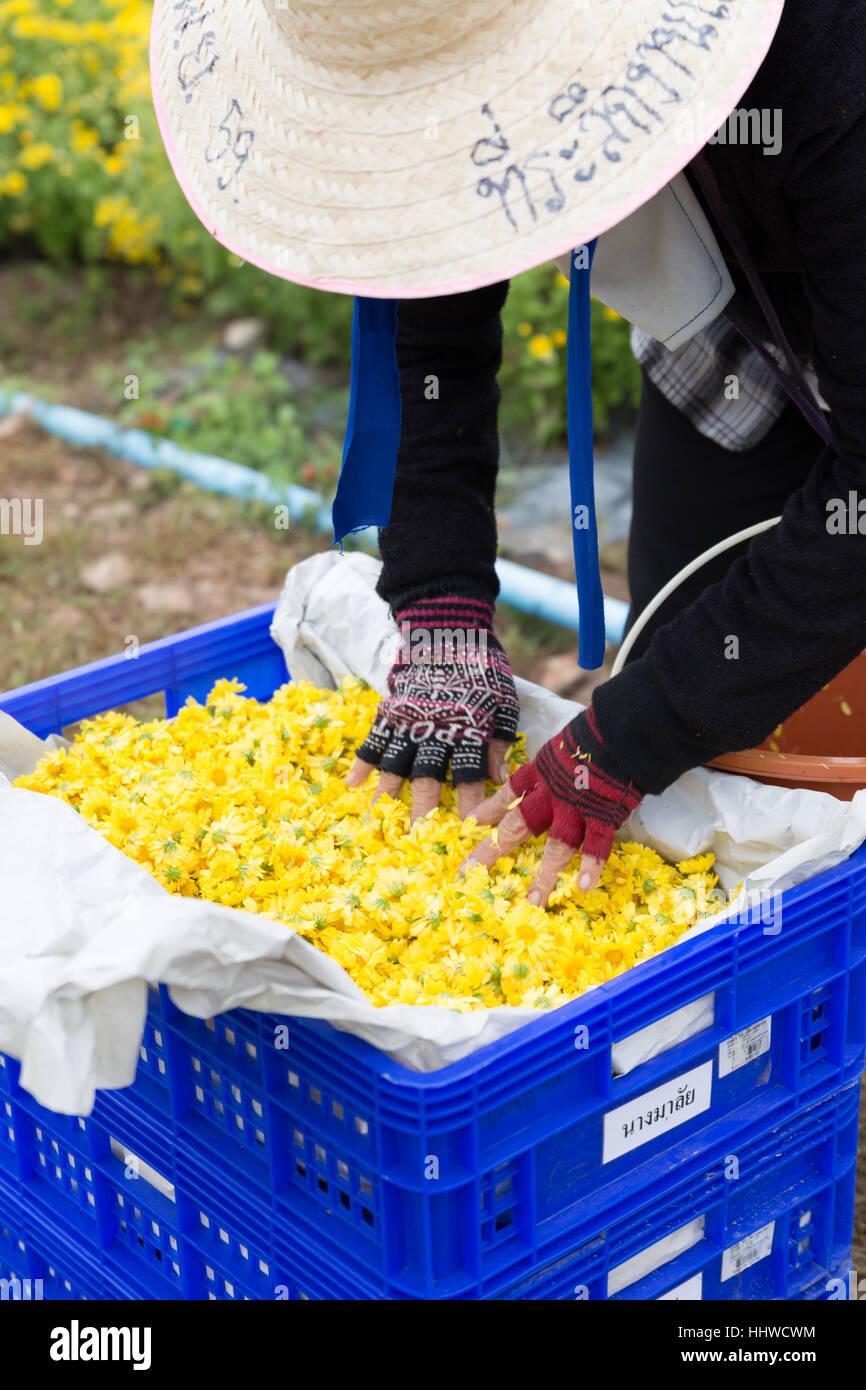 Chiang Mai, Tailandia - Noviembre 28, 2016: Flor de crisantemo cosecha agricultor no identificadas para la producción de té en el maejo granja en Chiang Mai, Tailandia Foto de stock