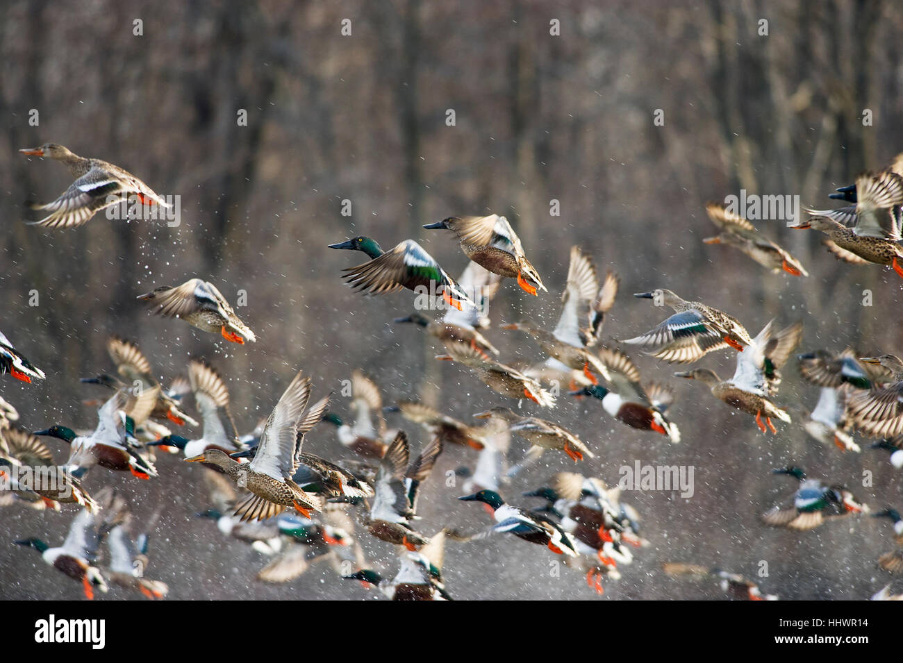 Una gran bandada de patos Cuchareta Norte despegar rápidamente fuera del agua creando un montón de salpicaduras. Imagen De Stock