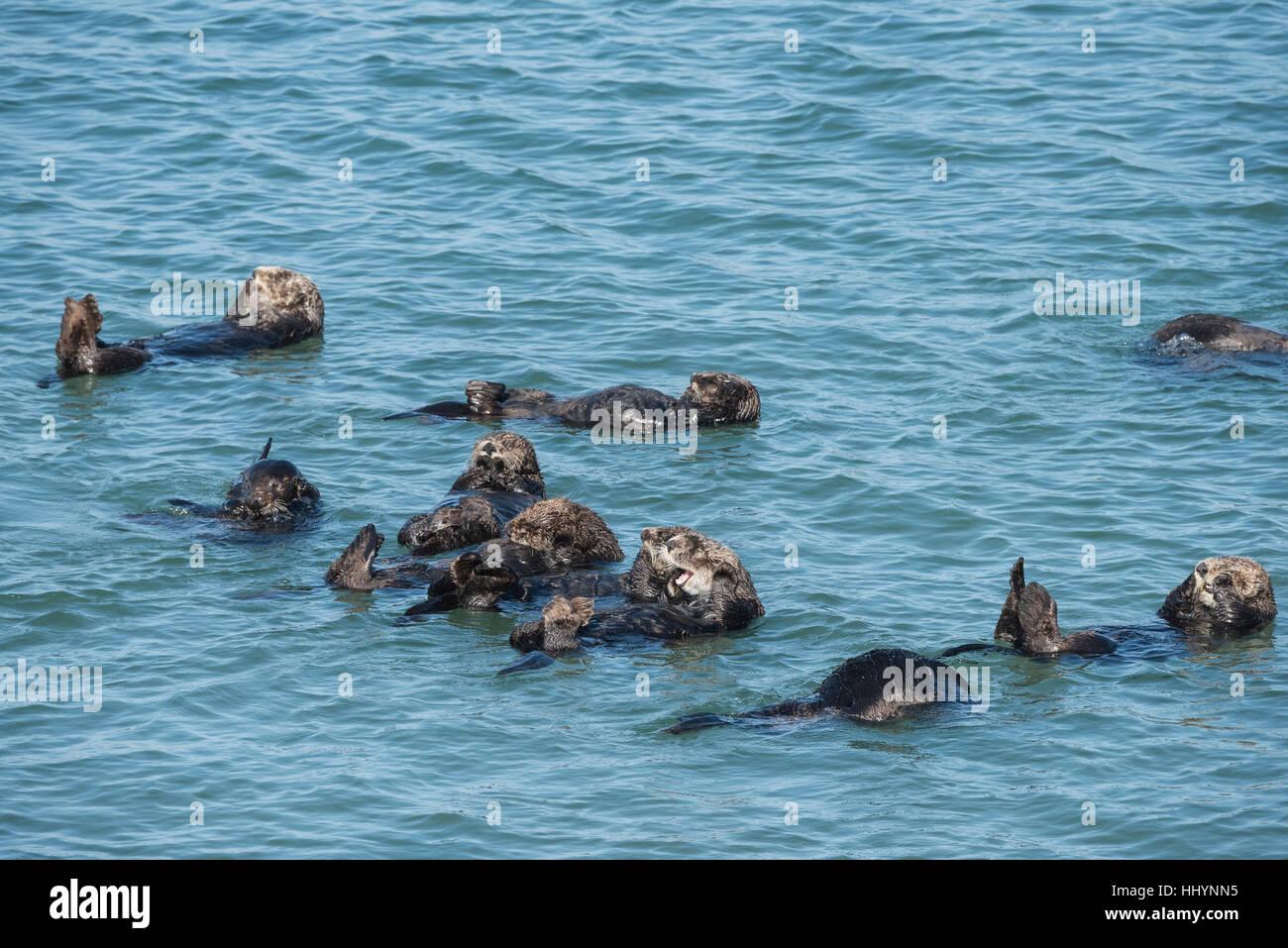 California nutrias de mar o nutrias de mar del sur, Enhydra lutris nereis ( amenazado ), descansando en una balsa, Elkhorn Slough, Moss Landing, California, EE.UU. Foto de stock