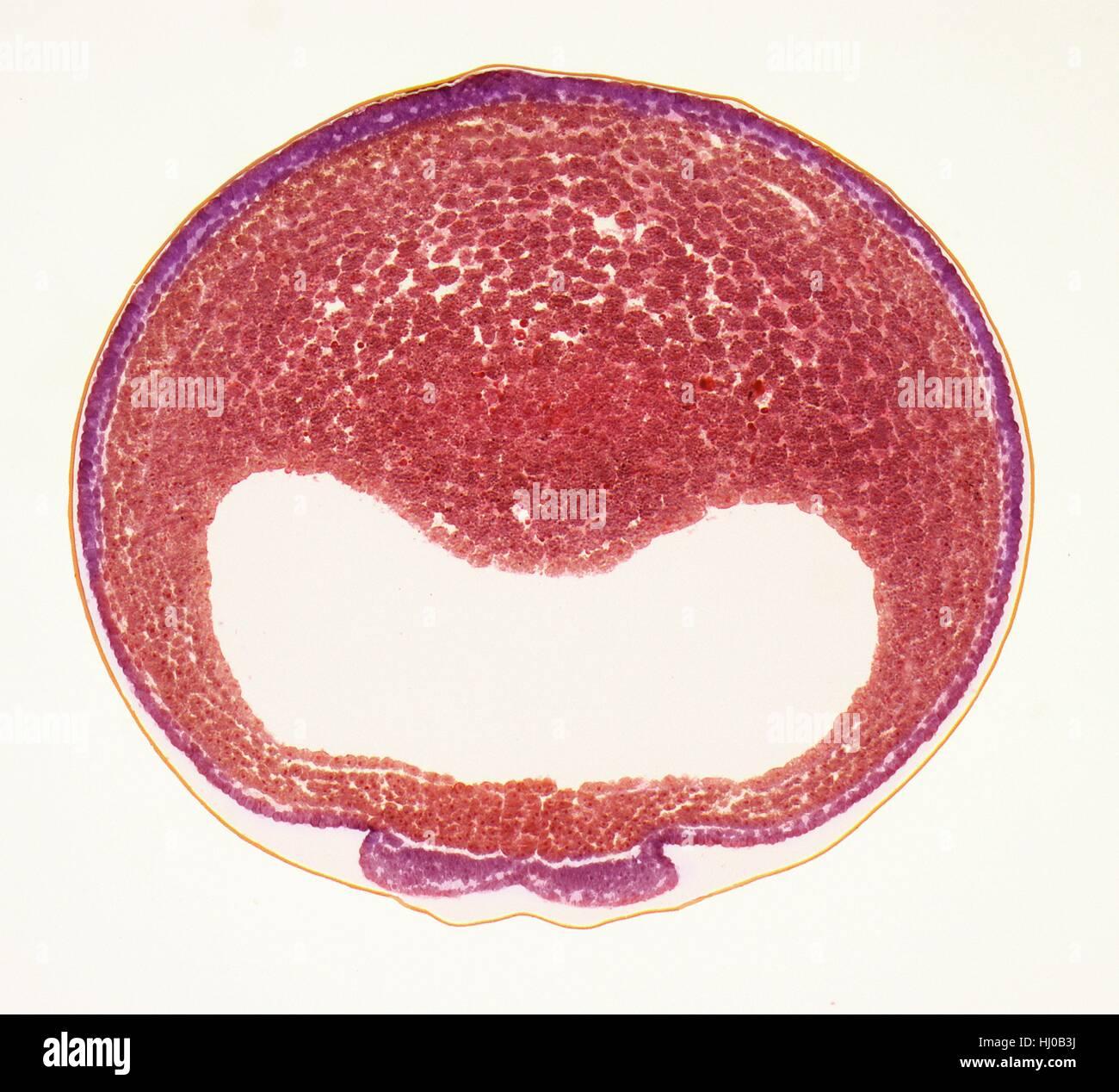 Desarrollo de huevos de rana.Light micrografía de sección transversal a través del desarrollo de Imagen De Stock