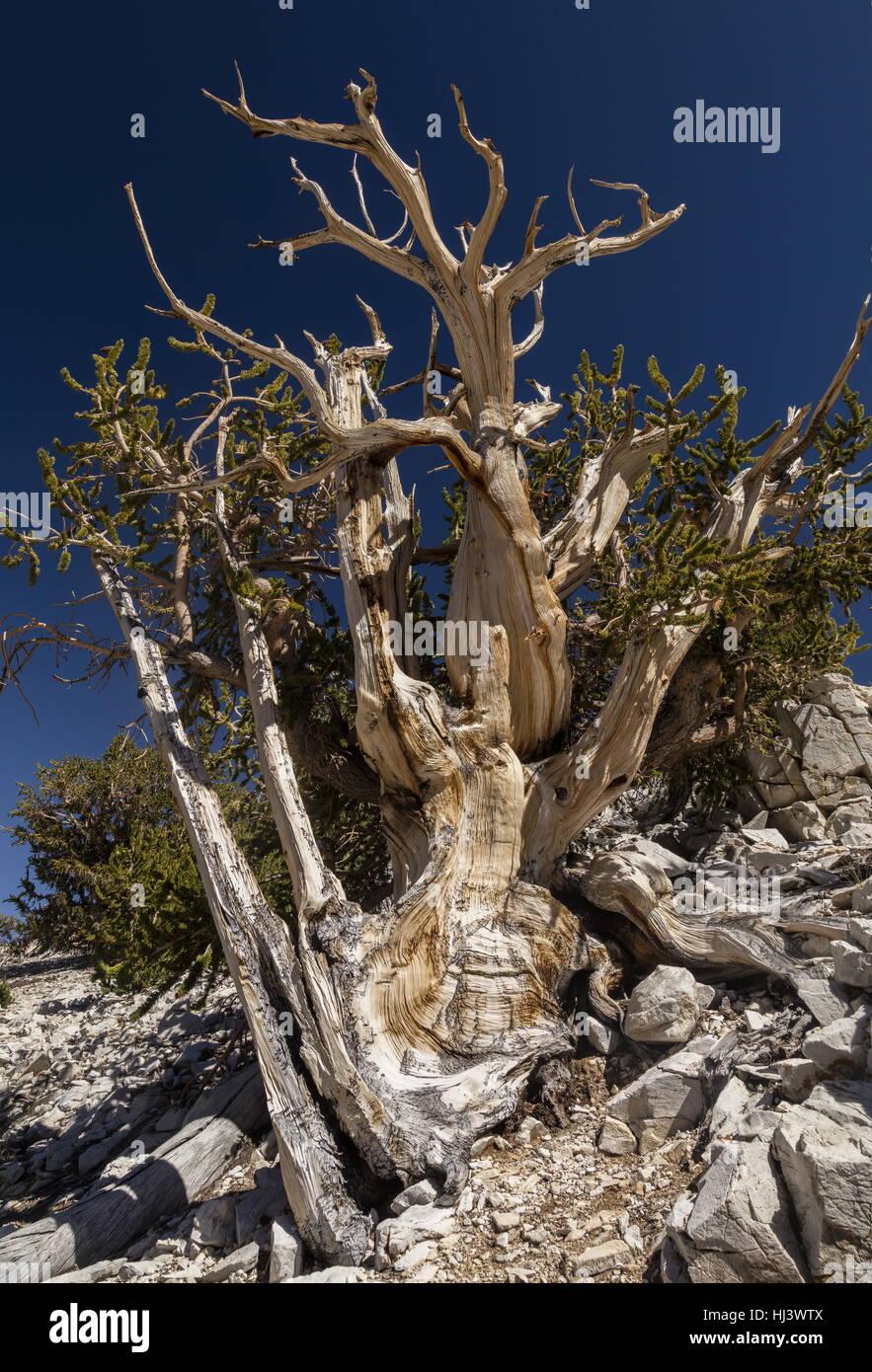 Great Basin bristlecone o pino Bristlecone Pine, Pinus longaeva, en las Montañas Blancas, California. Los árboles más antiguos que se conocen en el mundo. Foto de stock