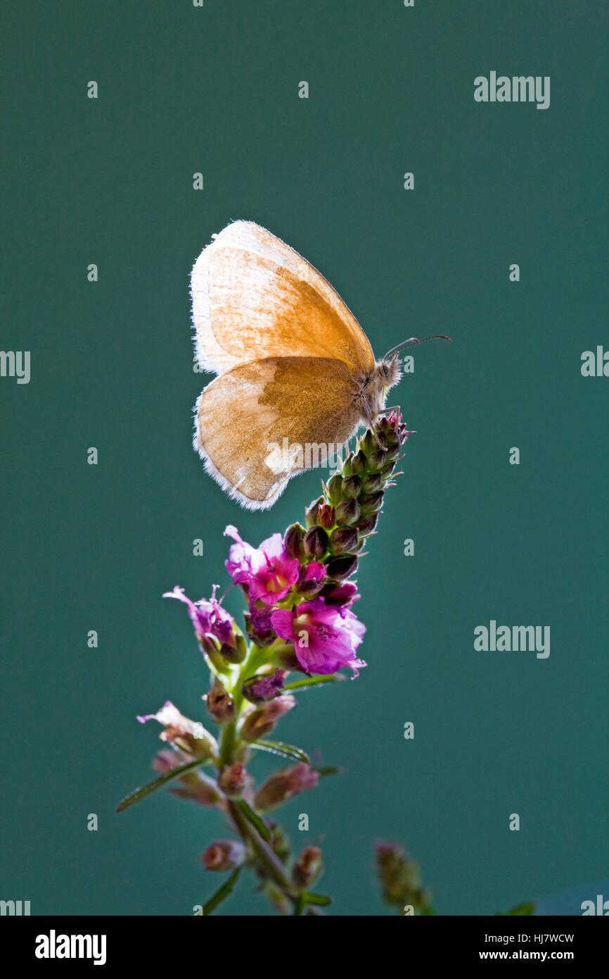 Un ocre Ringlet butterfly, Coenonympha tullia insulana, sobre una flor silvestre. Imagen De Stock