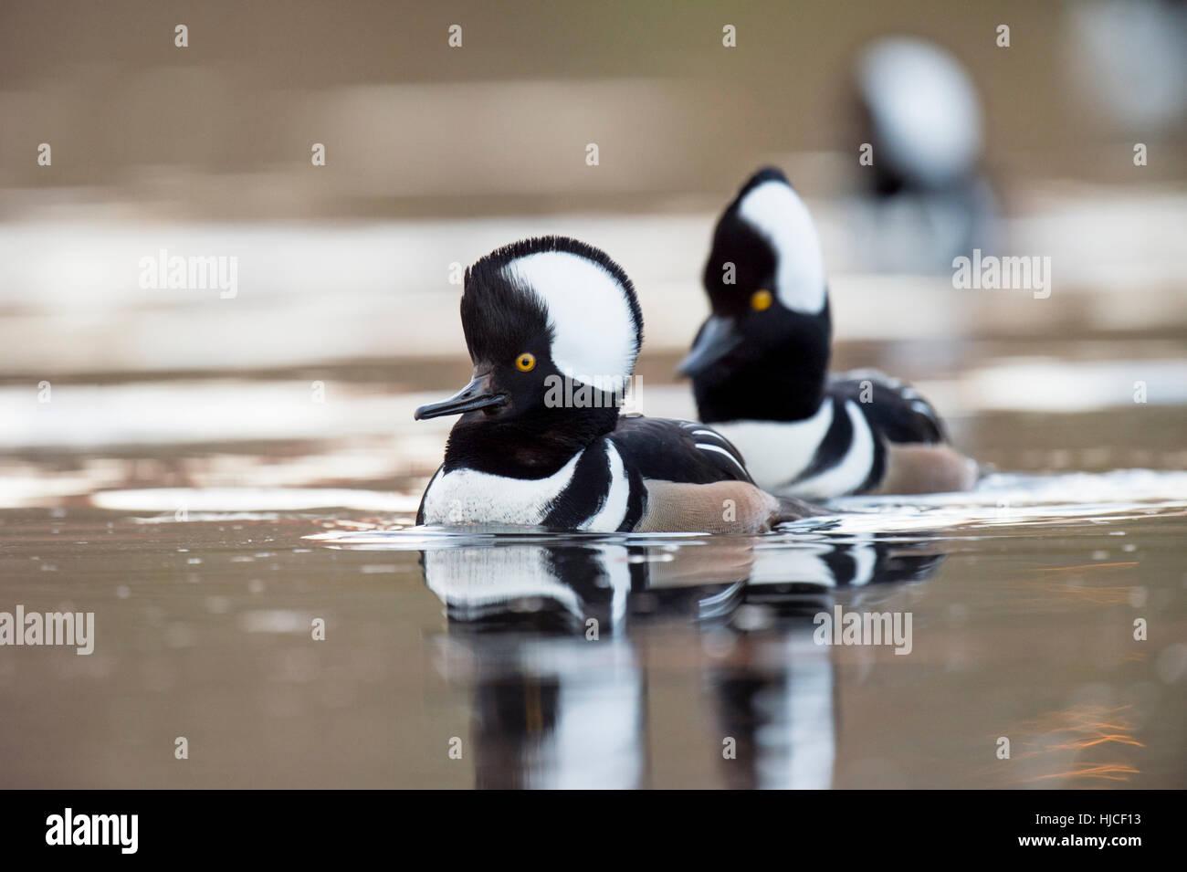 Un pequeño grupo de encapuchados Mergansers nadar en un estanque pequeño mostrando sus carcasas para las hembras cercanas. Foto de stock