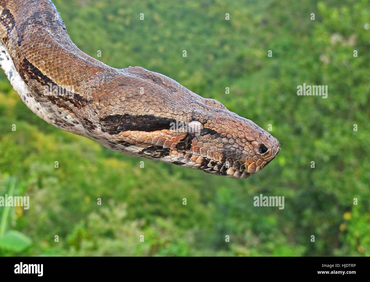 Boa Constrictor (Boa constrictor orphias) cerca de la cabeza, Santa Lucía, Antillas Menores de Diciembre Foto de stock