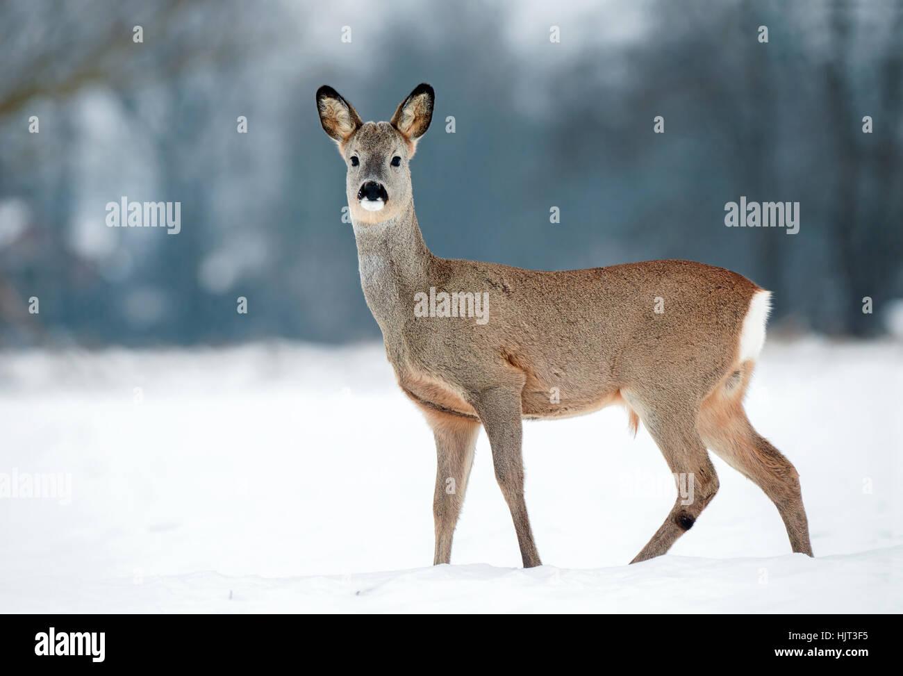 Macho joven corzo sin astas durante el invierno Foto de stock