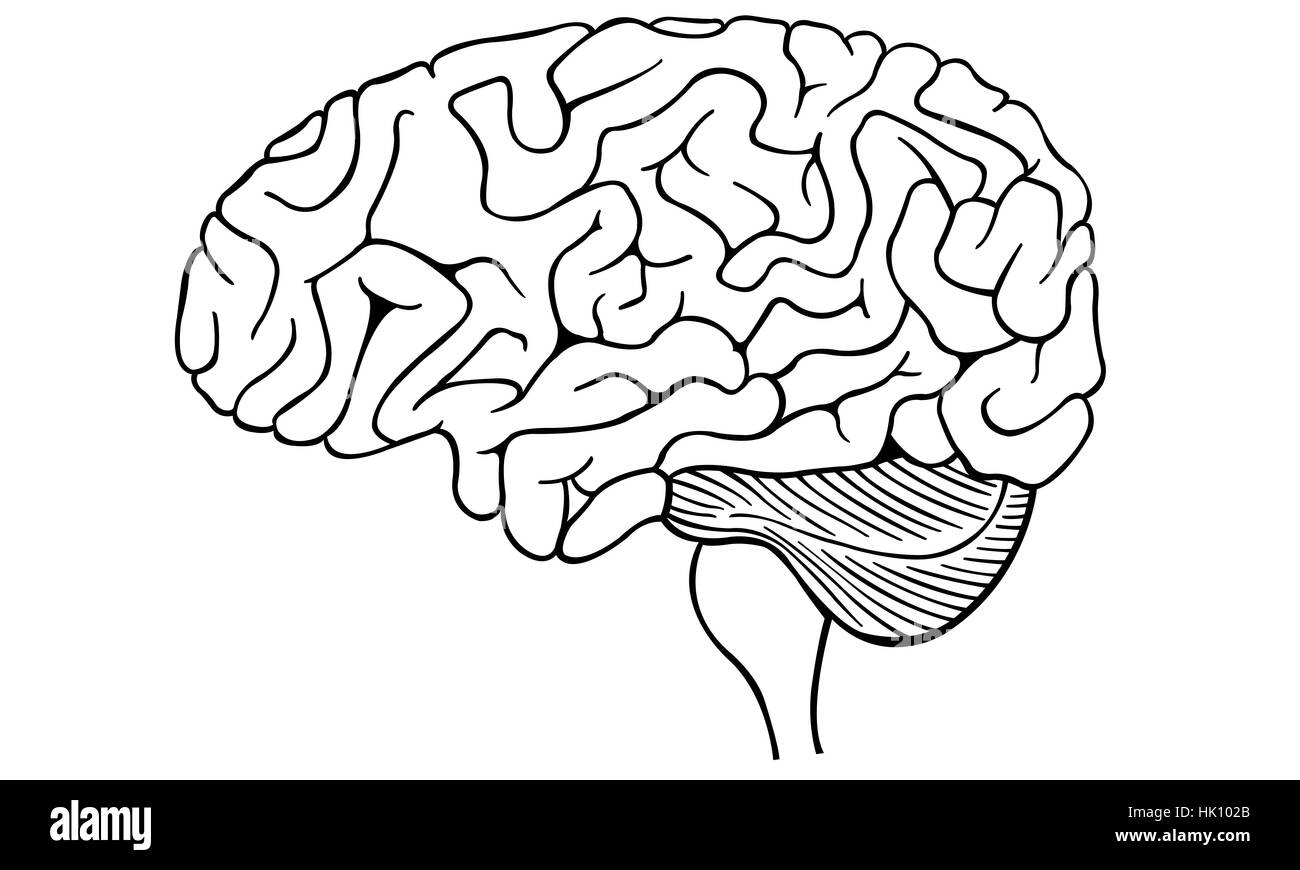 Ilustración de un cerebro humano aislado Imagen De Stock