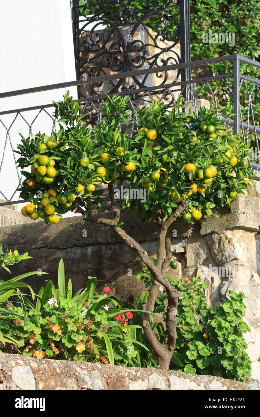 Hermoso árbol De Mandarina Con Notas De Fruta Madura Cerca