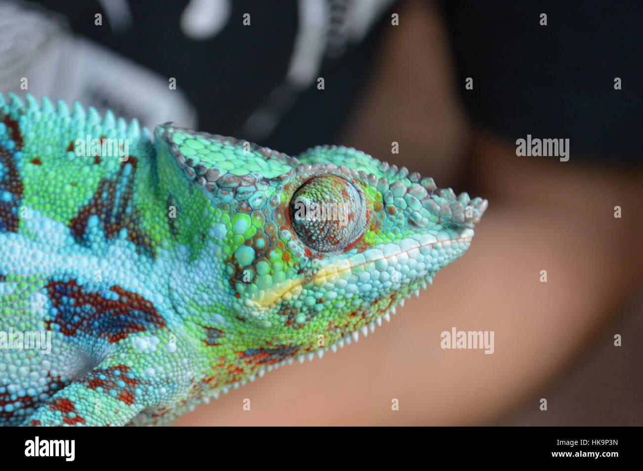 Camaleón pantera Imagen De Stock