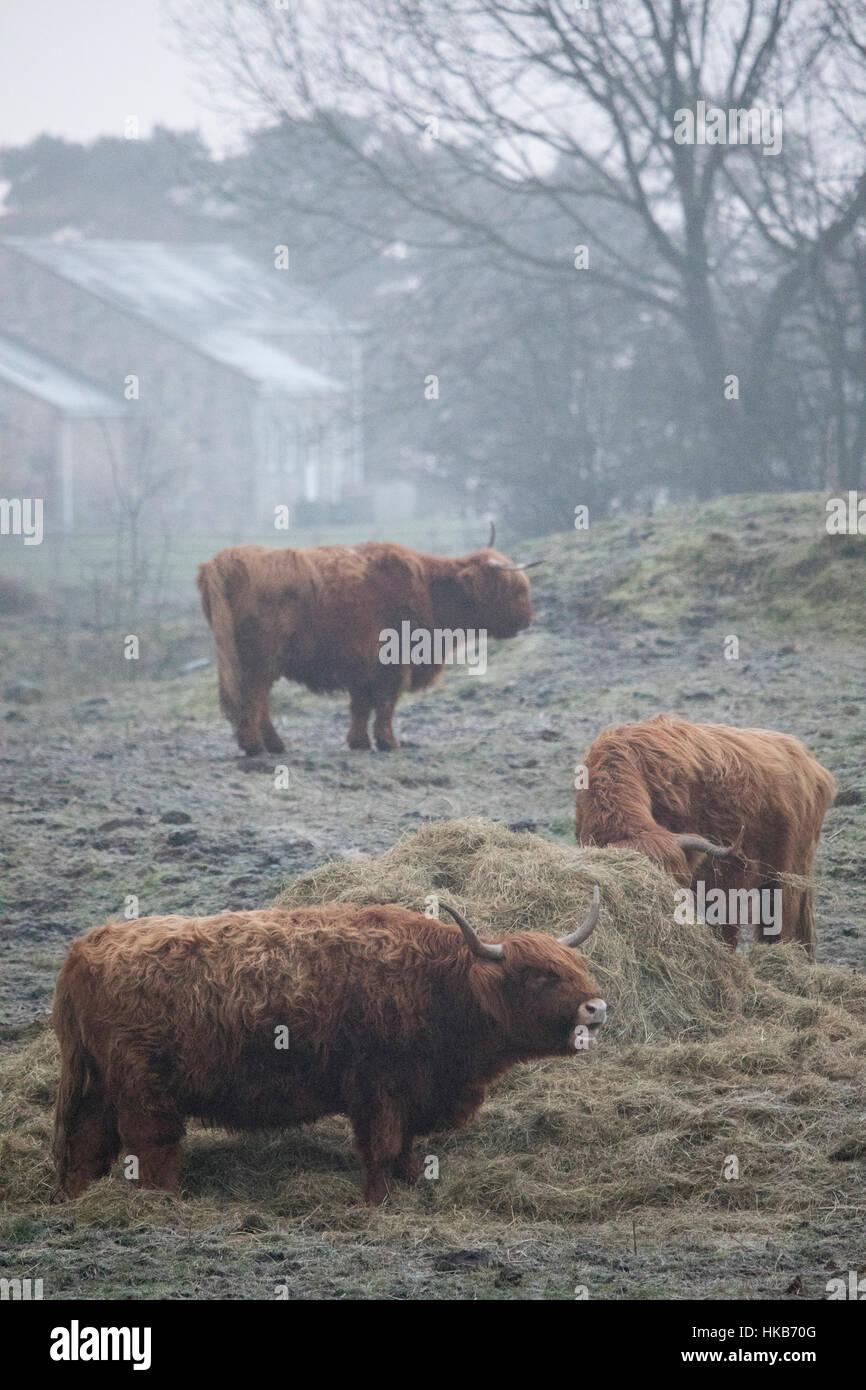 Highland ganado desafiando las condiciones de congelación cerca de la aldea de Moel-y-Crio, Flintshire Imagen De Stock
