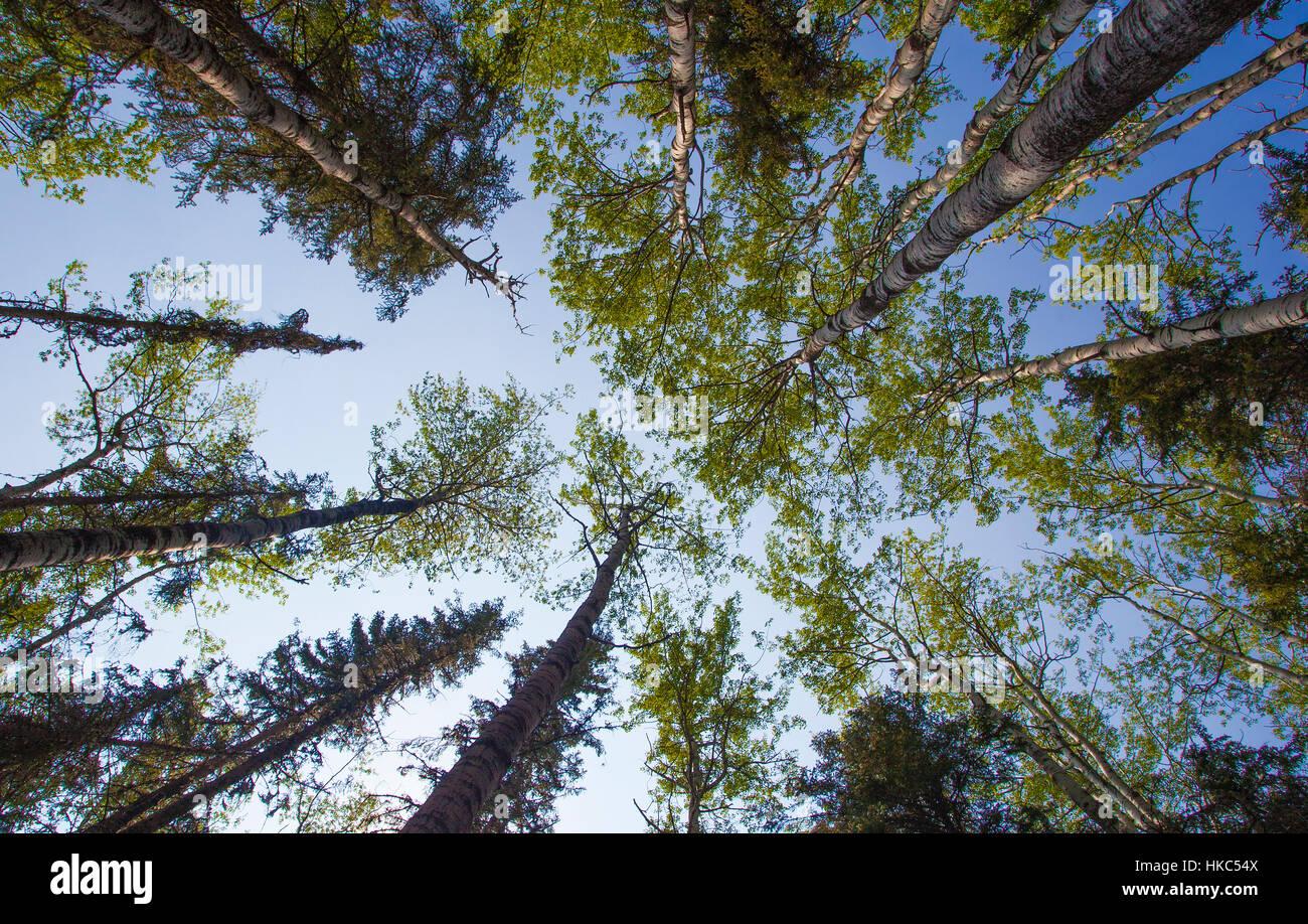 Árboles y cielo visto debajo del piso del bosque al amanecer Imagen De Stock