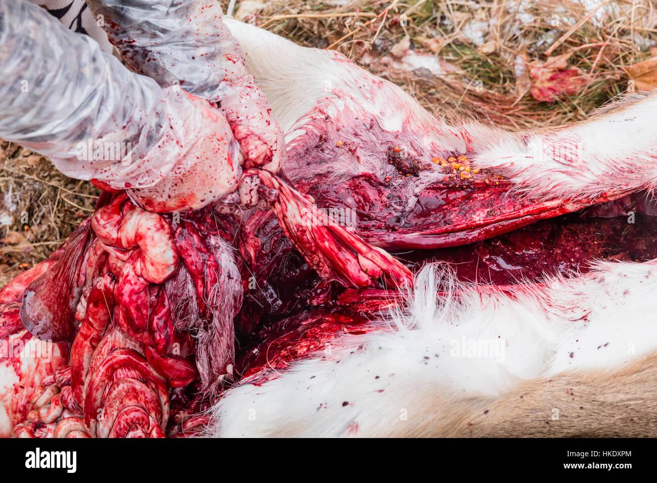 Apósito un campo blanco-tailed buck en Wisconsin Imagen De Stock
