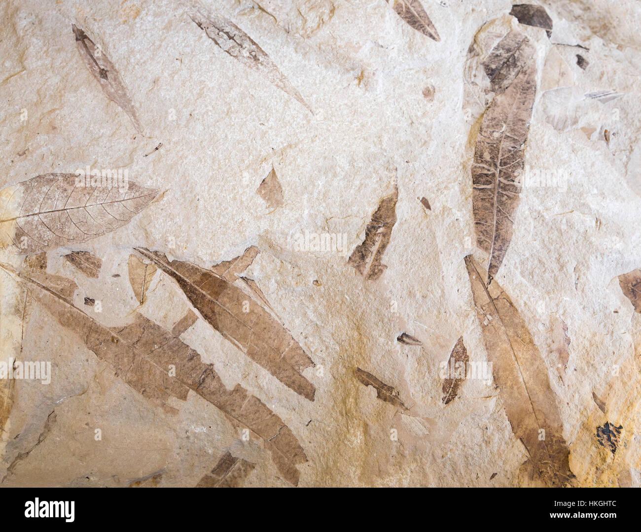 Hoja fósil en piedra. Registro fósil de las antiguas plantas muertas. Textura paleontológico huella Imagen De Stock
