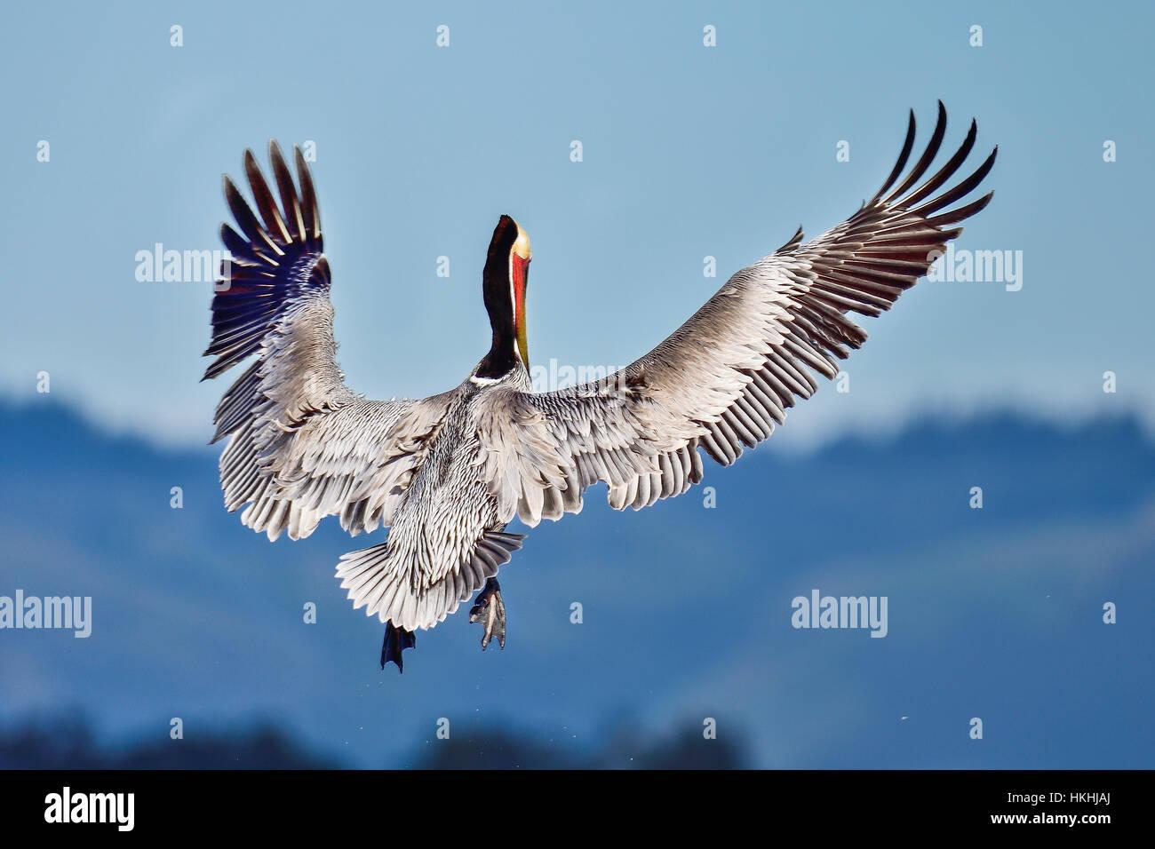 Pelican marrón Foto de stock
