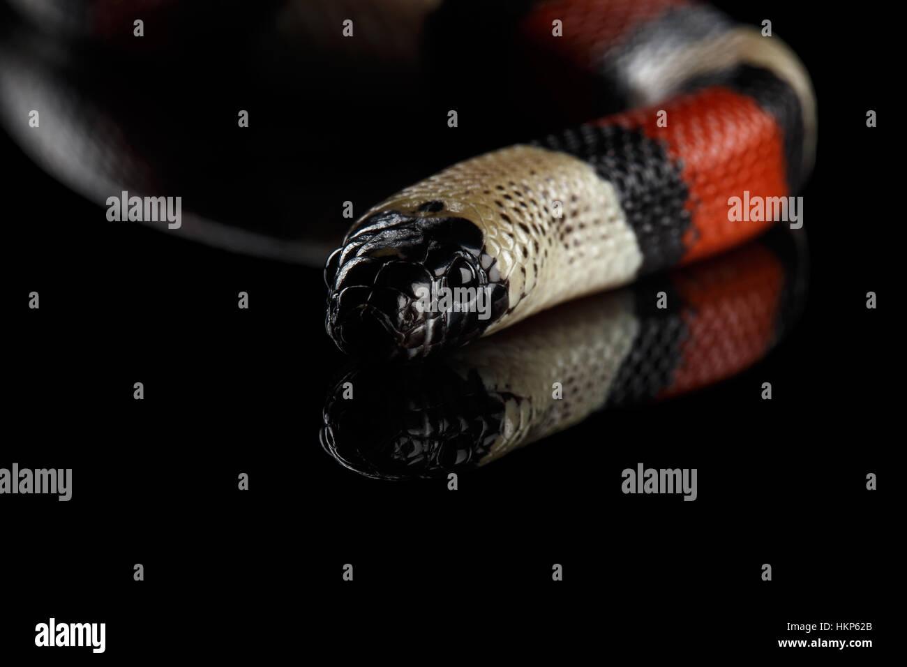 Campbell's Milk Snake, Lampropeltis triangulum campbelli, aislado sobre fondo negro Imagen De Stock