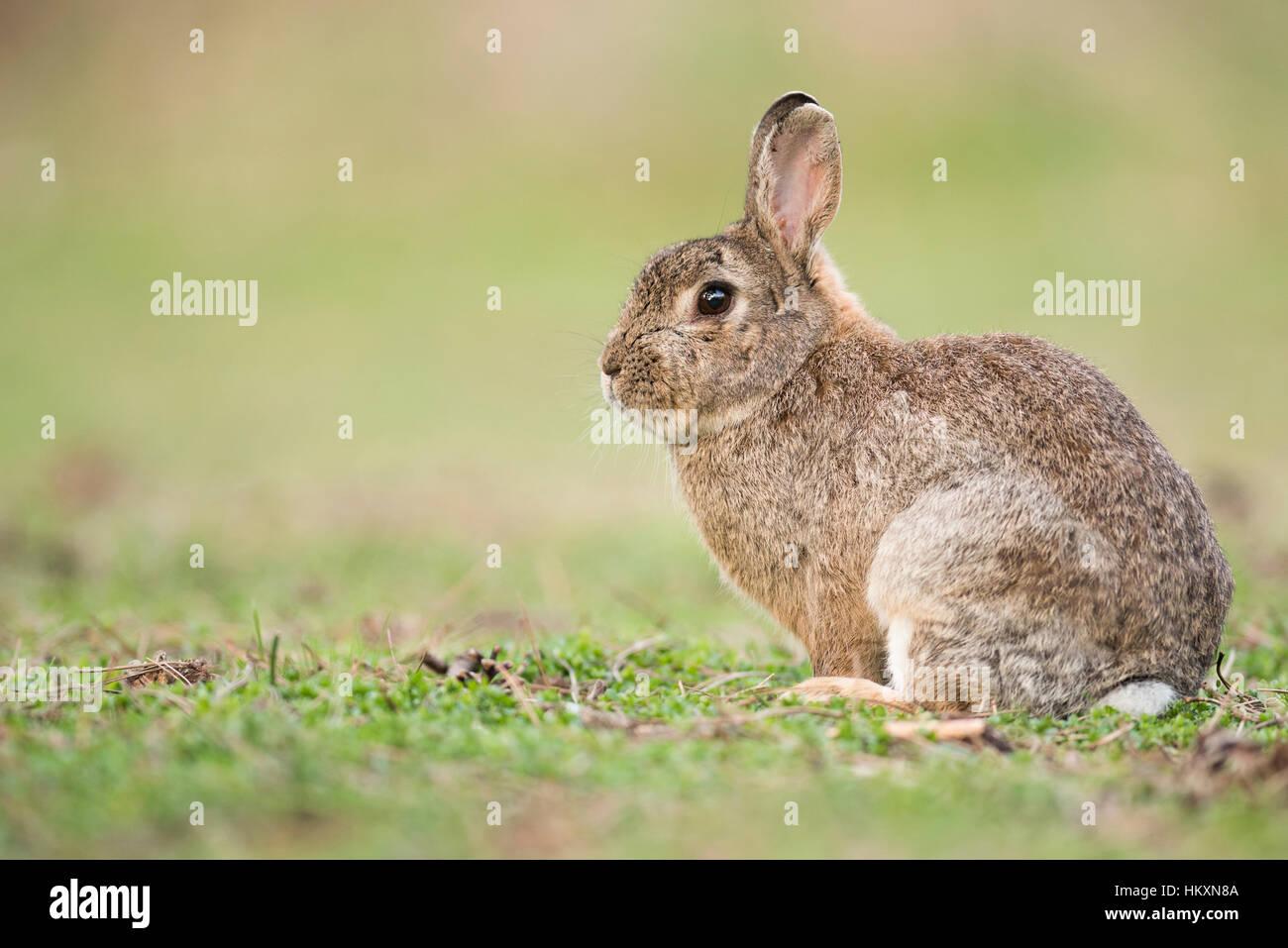 Conejo europeo (Oryctolagus cuniculus), Baja Austria, Austria Imagen De Stock
