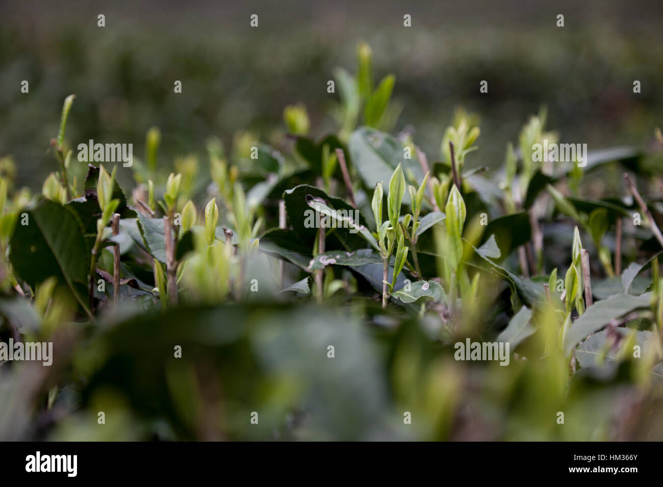Los primeros brotes tiernos de té surgen a principios de la primavera de plantas de té en una plantación Imagen De Stock