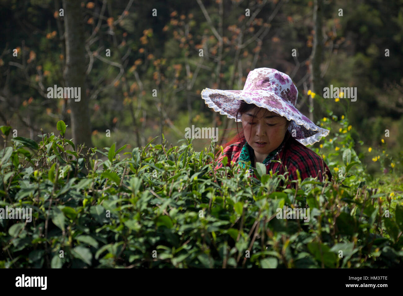 Una mujer recoge tiernos brotes de té durante la primera cosecha de té del año durante el festival Imagen De Stock