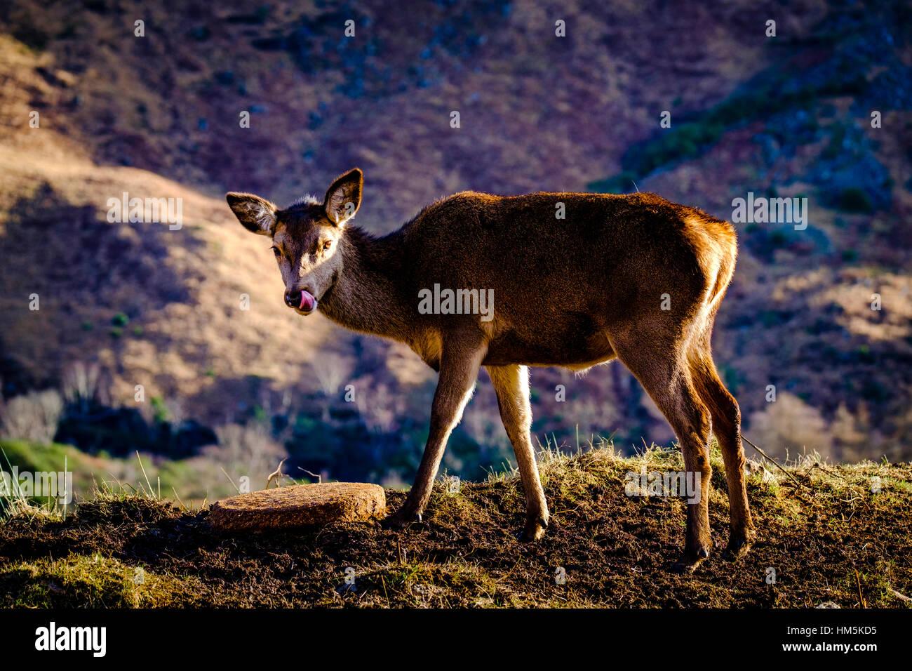 Ciervo en Glen Etive, Highlands de Escocia en invierno Foto de stock