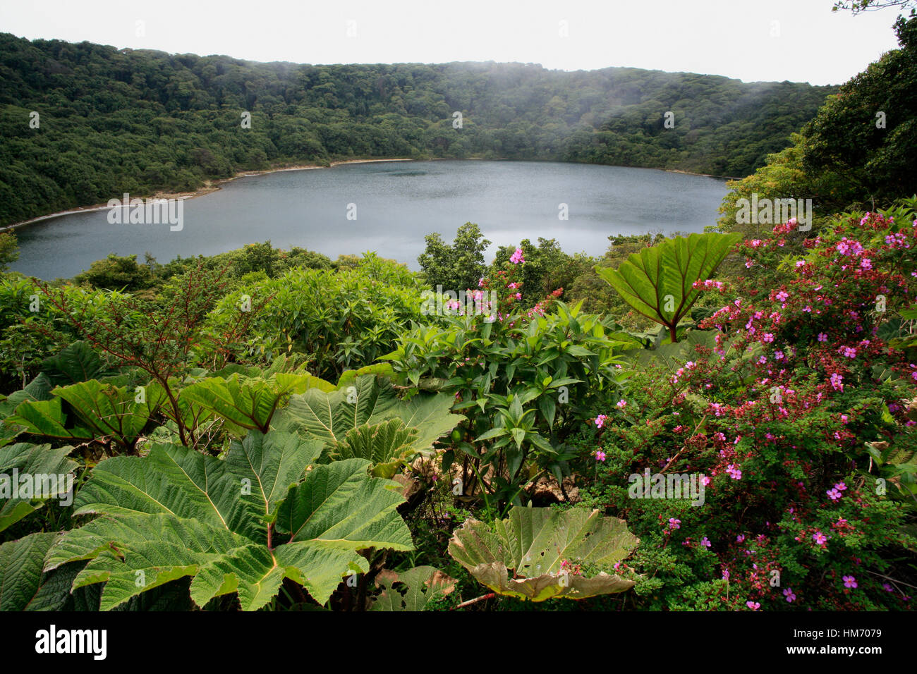 Gran sombrilla del pobre (Gunnera insignis) hojas y flores de los volcanes Melastoma (Monochaetum vulcanicum) en la Laguna Botos en el Volcán Poás Nat Foto de stock