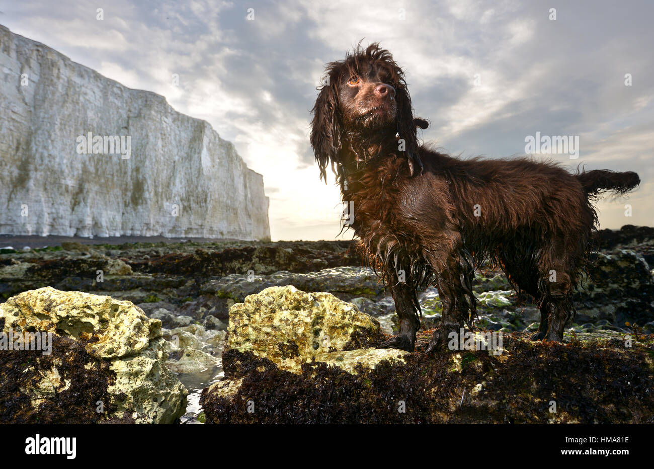 Birling Gap, East Sussex. 2º de febrero de 2017. Cocker Spaniel húmeda, Fudge, al amanecer, debajo de Imagen De Stock