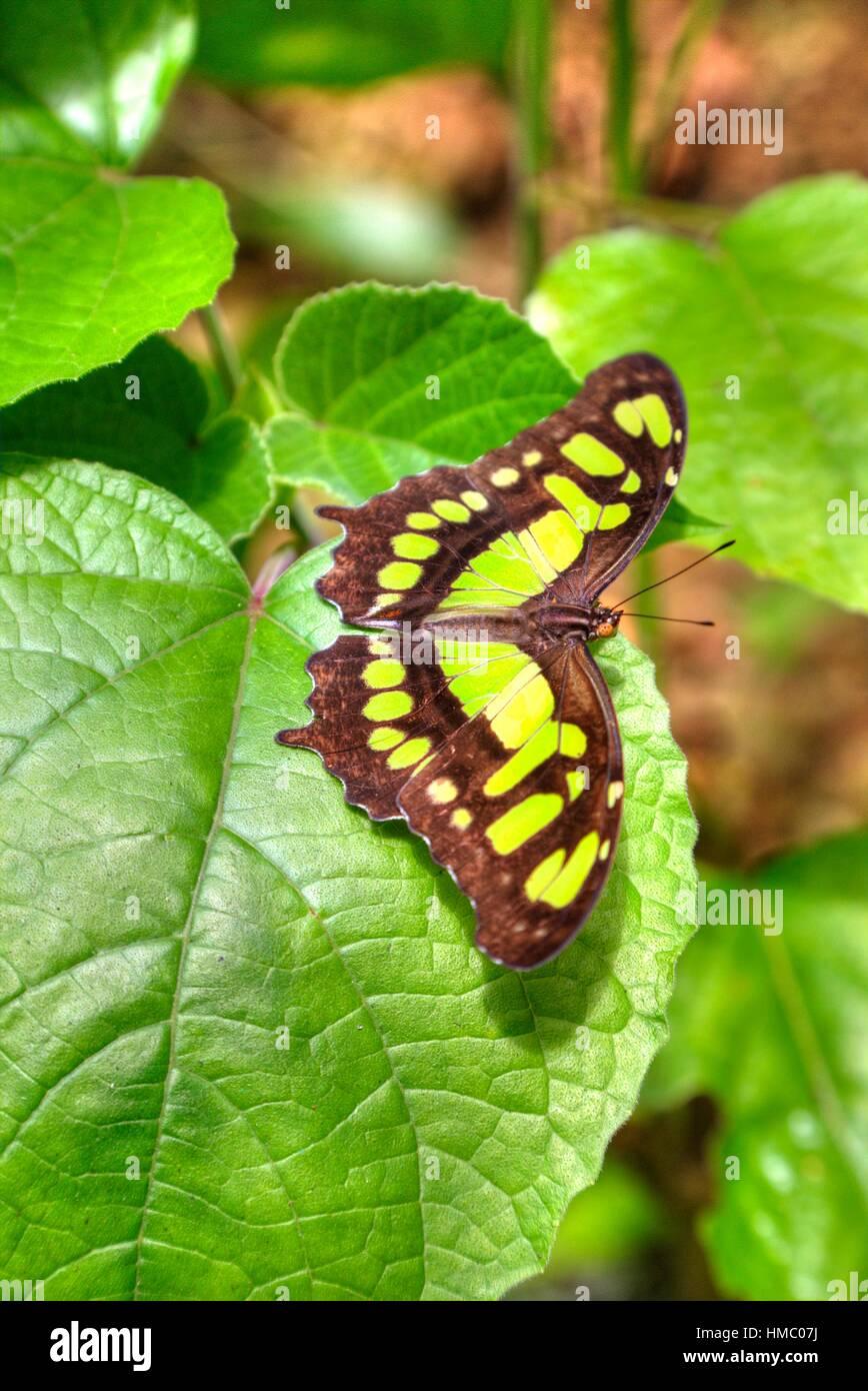 Malaquita Siproeta stelenes (mariposas), Green Hills Butterfly Ranch, al este de San Ignacio, Belice Foto de stock