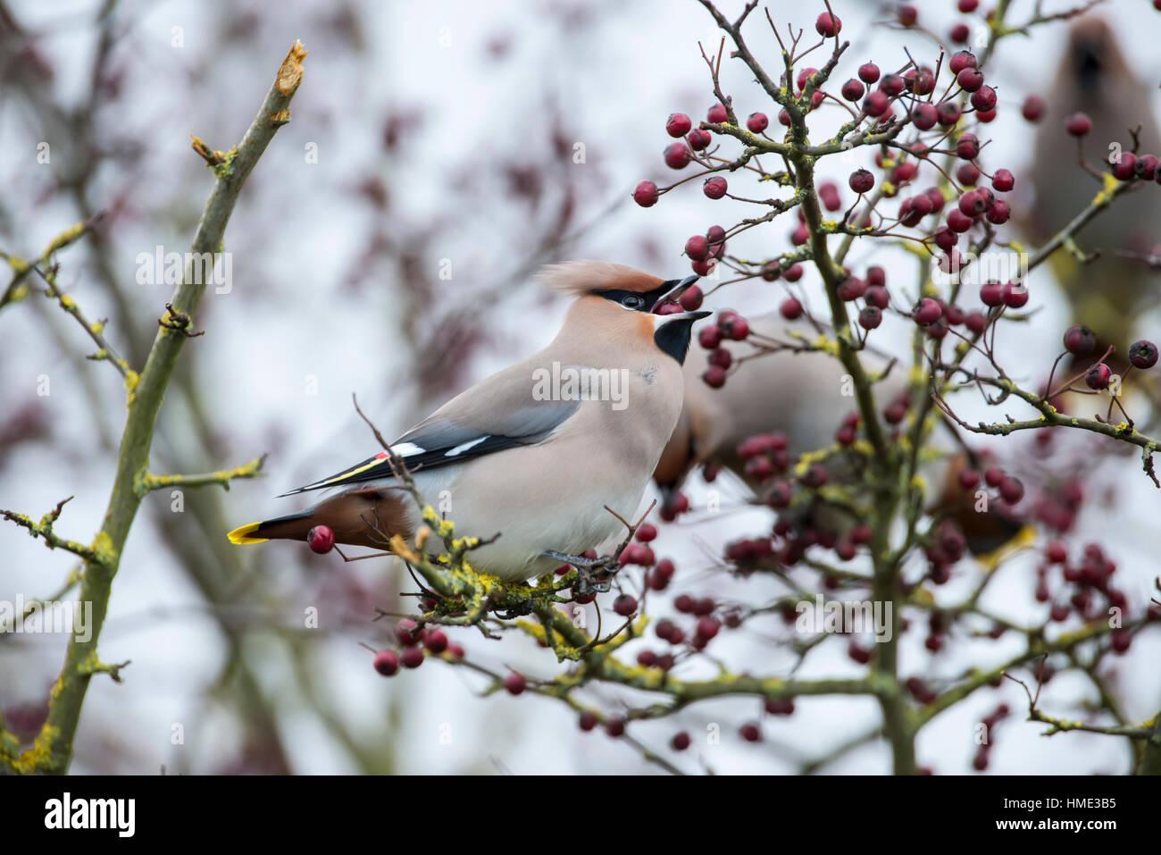 (Waxwing Bombycilla garrulus) alimentando el Hawthorn bayas Imagen De Stock